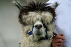 Where am I going. Young Alpaca is led by his handler at a show, but stuggles to see where he is going because of all his fur Royalty Free Stock Image