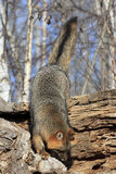 Where is that mouse. Grey fox chasing mouse into log Stock Photo