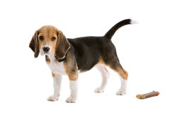 Where is my bone. Cute young beagle pup on white background Stock Photos
