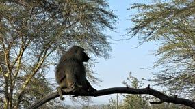 A wild baboon craving for his love in Naivasha National Park Kenya. Baboon, Africa, Safari, Wild Animal, Monkey, Vegetation, Naivasha, National Park, Kenya stock image