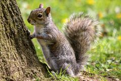 Squirel. Where are my nuts Royalty Free Stock Image