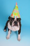 Where's my cake. A boston terrier with a birthday hat on Stock Images