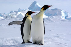 Where is the South Pole?. Emperor penguins Royalty Free Stock Images