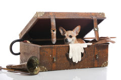 Where to?. Chihuahua looking out of a suitcase Stock Photography