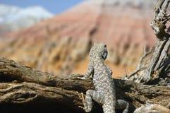 Where to go. Lizard on saxaul in Altyn-Emel Stock Photo