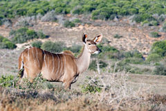 Where to next - Greater Kudu - Tragelaphus strepsiceros. Where to next - The greater kudu is a woodland antelope found throughout eastern and southern Africa royalty free stock photo