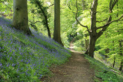 Where you lead I will follow. Footpath through ancient Bluebell woods in Somerset, UK Stock Image