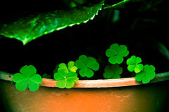 Where are you Lucky Leafs?. Where is the lucky leafs that may be hiding inside the pot. Cute and tiny seven leafs, that's how it is royalty free stock image