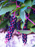 Which Berries grow on Trees at a fence. Closed-up which berries grow on Trees Stock Photography