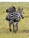 Which Head belongs to which ZEBRA? Stock Photo