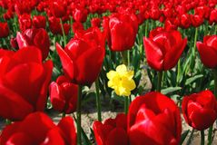 Which One Does Not Belong?. Field of red tulips in Spring Royalty Free Stock Photography