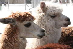 Which one is lama? alpaca? Royalty Free Stock Image