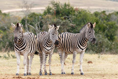 Which Way To Look At The Camera - Burchell's Zebra Royalty Free Stock Images