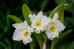 Whie  orchid flower Stock Images