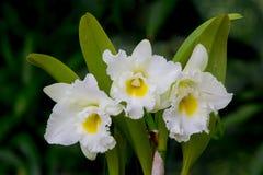 Whie orkidéblomma Arkivbilder