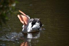 Whie pelikana karmienie Zdjęcia Royalty Free