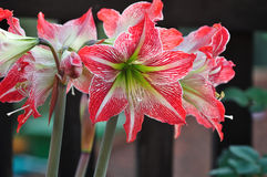 Whie and red Amaryllis Stock Photo