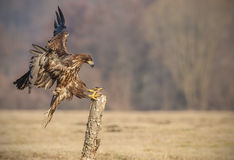 Whie-tailed eagle landing Royalty Free Stock Image