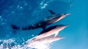 Whild gemeenschappelijke dolfijnen stock footage