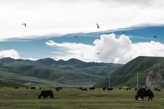 Whild yaks. Grassing in the field surrounded by mountains of Eastern Tibet stock photos