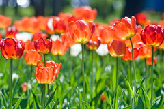 Red  tulips in spring Stock Image