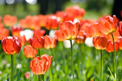 Whilte tulips in spring Stock Photos