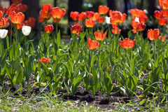 Whilte tulips in spring Royalty Free Stock Photo