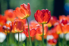 Red tulips in spring Royalty Free Stock Photo