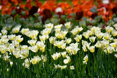 White tulips in spring Royalty Free Stock Images
