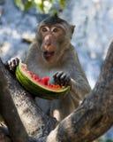 Whilw do macaco que come uma melancia foto de stock royalty free