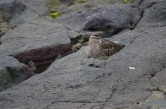Whimbrel Obraz Stock