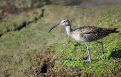 Whimbrel Fotografia Royalty Free