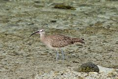 Whimbrel. Wading in the Pacific Ocean in the Galapagos Stock Image