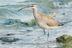 Free Whimbrel Royalty Free Stock Images - 46584069