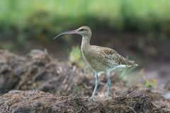 Whimbrel on a Bank Stock Images