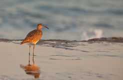 Whimbrel at beach Royalty Free Stock Photography