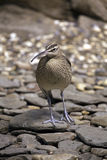 Whimbrel bird Royalty Free Stock Photography
