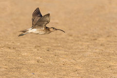 Whimbrel bird flying Royalty Free Stock Photos