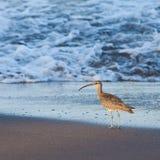 Whimbrel Bird Walking In The Sea
