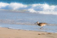 Whimbrel, bird, walking out of the Pacific Ocean. A photograph  a whimbrel, a shore bird, walking out of the Pacific Ocean in Laguna Beach, California, USA Stock Photo