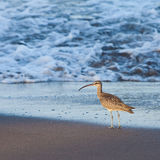 Whimbrel bird walking in the sea. Whimbrel bird walking in the surf of the  sea Stock Photo