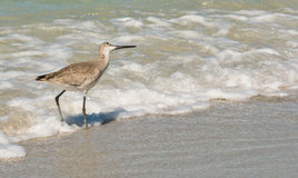 Whimbrel-Bird Royalty Free Stock Images
