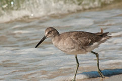 Whimbrel bird walking in surf of tropical beach. Looking to feed on baby surf clams Royalty Free Stock Photo