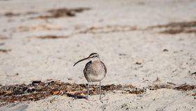 Whimbrel brzeg ptak na plaży Fotografia Stock