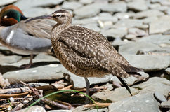 Whimbrel Stock Photography