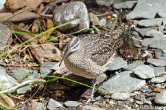Whimbrel Royalty Free Stock Images