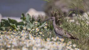 Whimbrel Among Daisies. Whimbrel, Numenius phaeopus, is standing among daisies Stock Photos