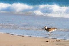 Whimbrel fågel som går ut ur havet Arkivfoto