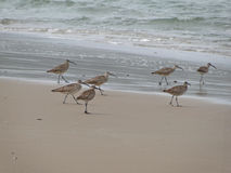 Whimbrel flock Stock Photos