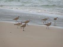 Free Whimbrel Flock Stock Photos - 15967213